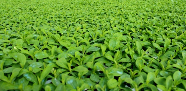 stevia-seedlings